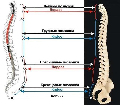 the Physiological curves of the spine