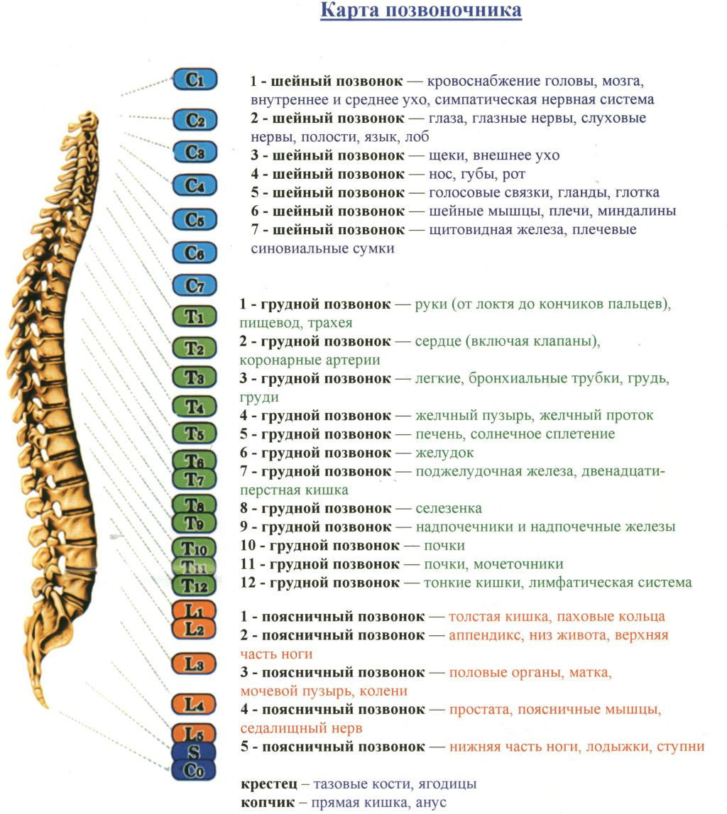 Structure of the human spine and its relationship with the internal organs and systems