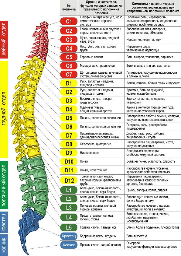 the Location and relationship of the vertebrae of the cervical spine with the other organs