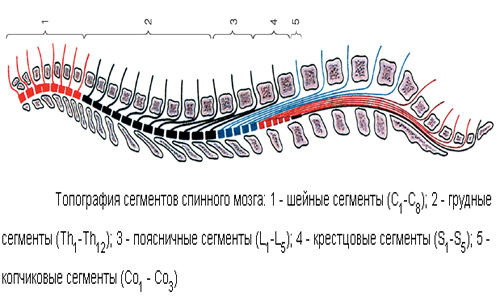 Topography of spinal cord segments