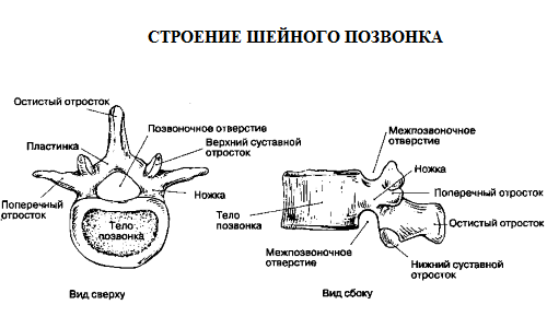 the Structure of cervical vertebra