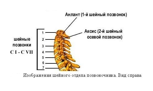 Structure of the cervical spine