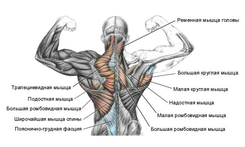 the anatomy of the back muscles