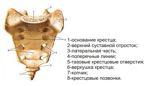 structure of the sacral spine