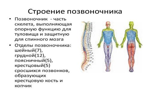the Structure of the spine