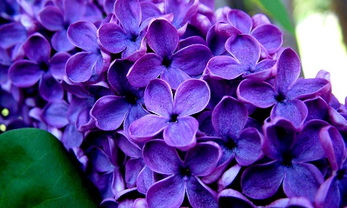 the Use of lilac in fibromyalgia
