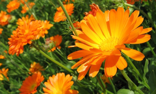 Calendula to treat pressure sores on buttocks