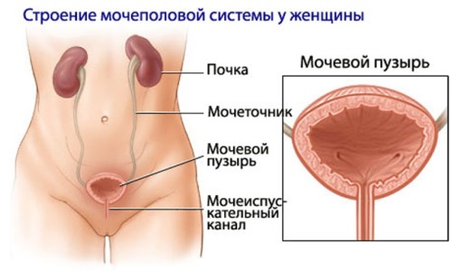 Structure of the genitourinary system women