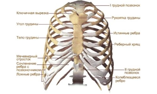 the structure of the thorax