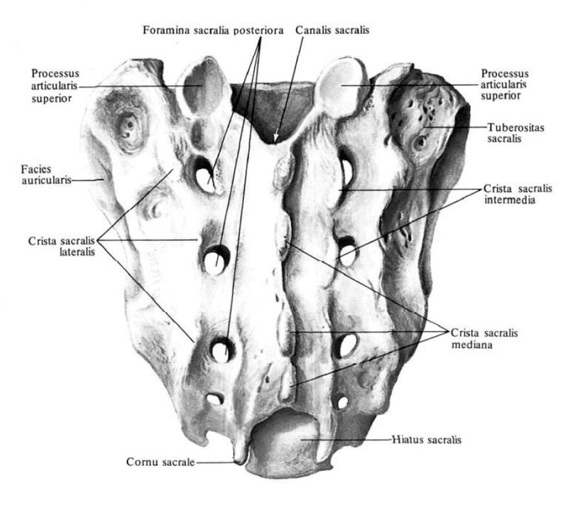 the structure of the sacrum, rear view