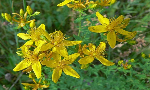 St. John's Wort for the treatment of headaches