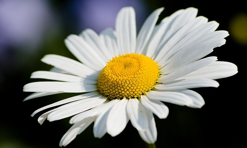 Chamomile for the treatment of sinusitis