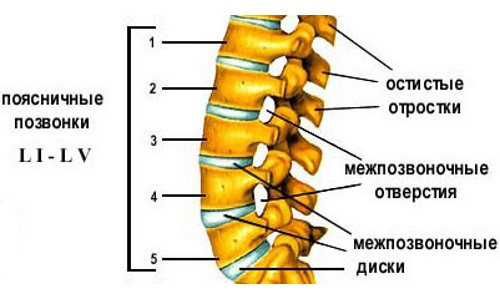 Structure of the lumbar spine