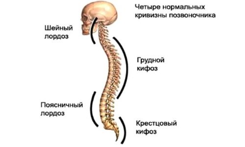 the Natural curves of the spine