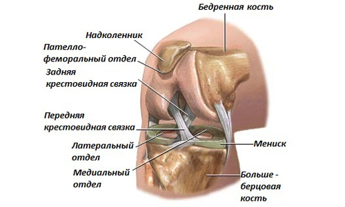 Structure of the knee joint