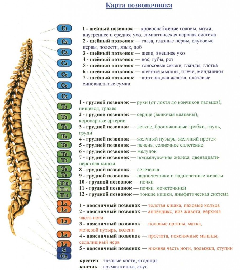 structure of the human spine
