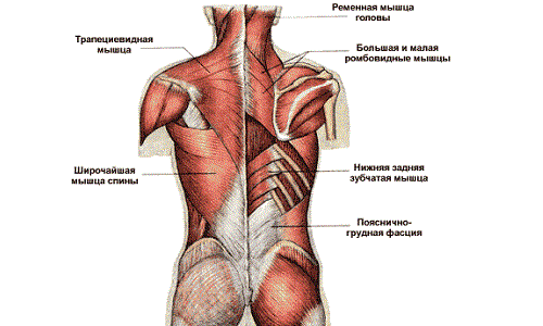 muscle groups of the back and neck, their structure and functions, Human Body