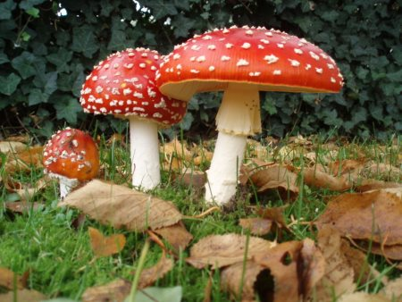 tincture of fly agaric helps with degenerative disc disease