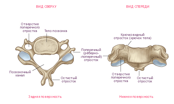 Structure of the cervical vertebrae
