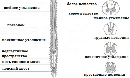 Spinal cord of the spinal column